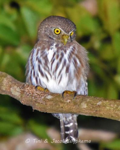 Ferruginous Pygmy-Owl (Glaucidium brasilianum). Copyright T&J Wijpkema.