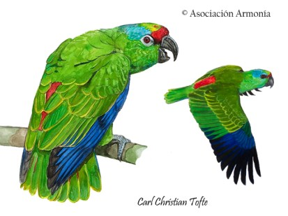 Festive Parrot (Amazona festiva)