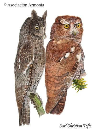 Foothill Screech-Owl (Megasacops roraimae).