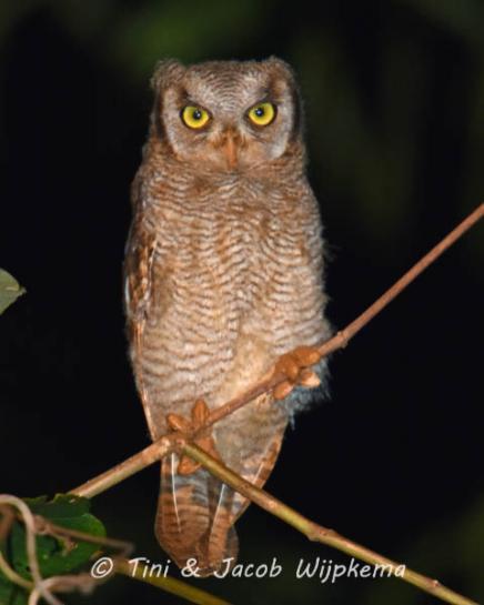 Foothill Screech-Owl (Megasacops roraimae). Copyright T&J Wijpkema.