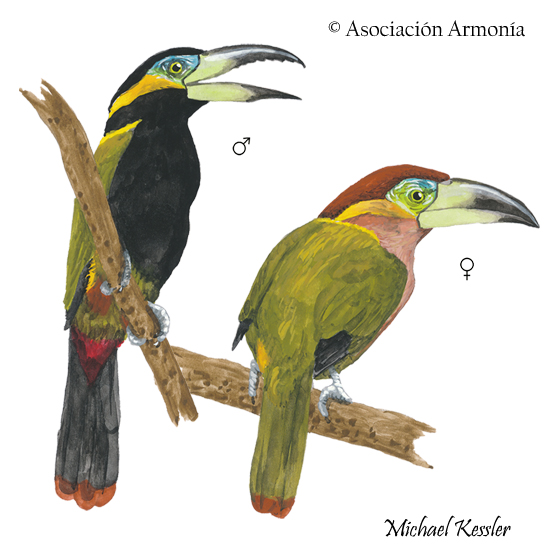 Golden-collared Toucanet (Selenidera reinwardtii)