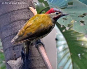 Golden-olive Woodpecker (Colaptes rubiginosus). Copyright T&J Wijpkema.