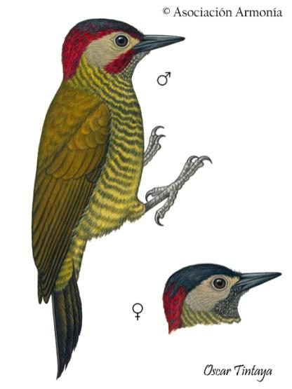 Golden-olive Woodpecker (Colaptes rubiginosus).