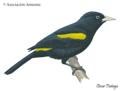 Golden-winged Cacique (Cacicus chrysopterus)