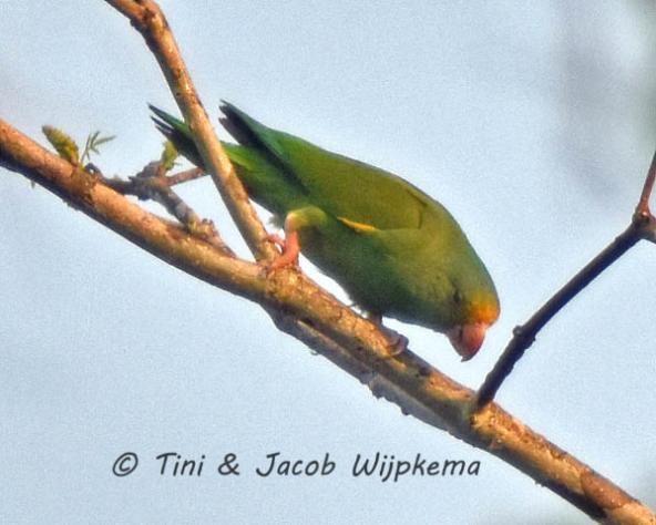 Golden-winged Parakeet (Brotogeris chrysoptera). Copyright T&J Wijpkema.