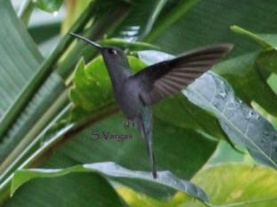 Gray-breasted Sabrewing (Campylopterus largipennis). Copyright S Vargas.
