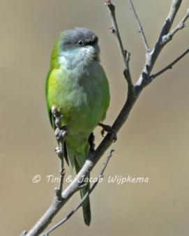 Gray-hooded Parakeet (Psilopsiagon aymara) Copyright T&J Wijpkema.