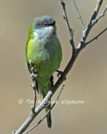 Gray-hooded Parakeet (Psilopsiagon aymara). Copyright T&J Wijpkema.