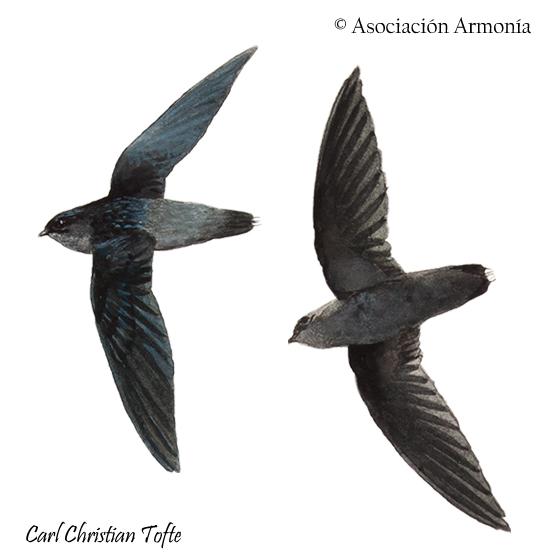 Gray-rumped Swift (Chaetura cinereiventris)
