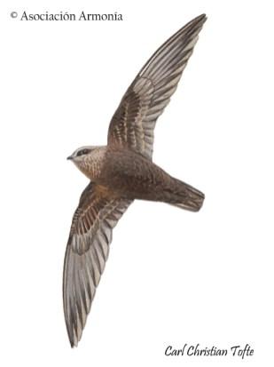 Great Dusky Swift (Cypseloides senex)
