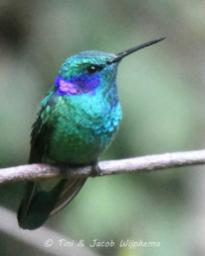 Green Violetear (Colibri thalassinus). Copyright T&J Wijpkema.