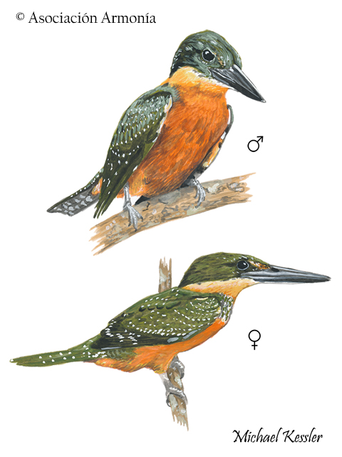 Green-and-rufous Kingfisher (Chloroceryle inda).