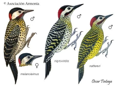 Green-barred Woodpecker (Colaptes melanochloros)
