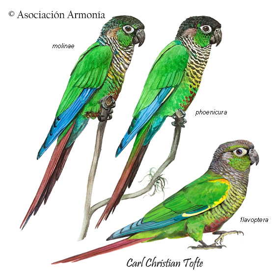 Green-cheeked Parakeet (Pyrrhura molinae)