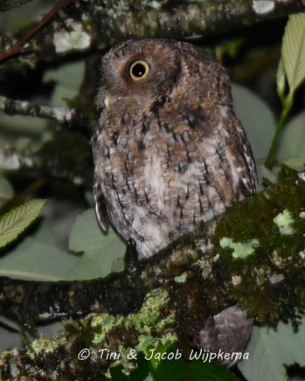 Montane Forest Screech-Owl (Megascops hoyi). Copyright T&J Wijpkema.