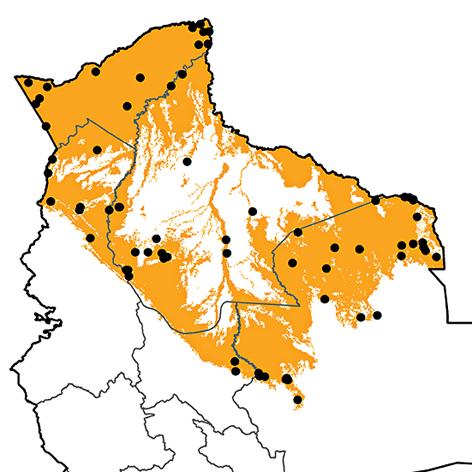 Hylocharis cyanus
