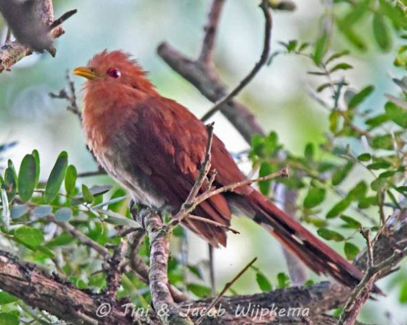 Little Cuckoo (Coccycua minuta). Copyright T&J Wijpkema.