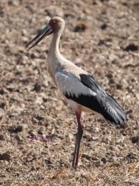 Maguari Stork (Ciconia maguari) Copyright S Vargas