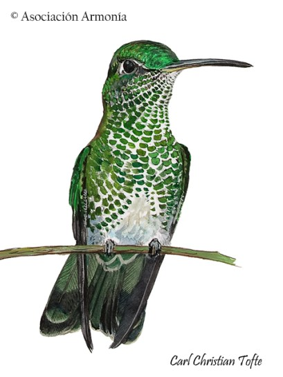 Many-spotted Hummingbird Taphrospilus hypostictus).