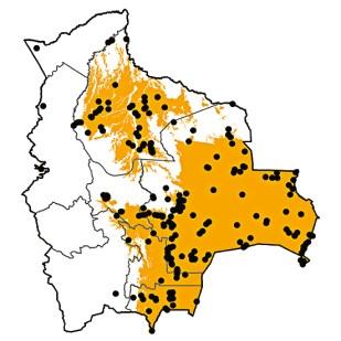 Molothrus bonariensis