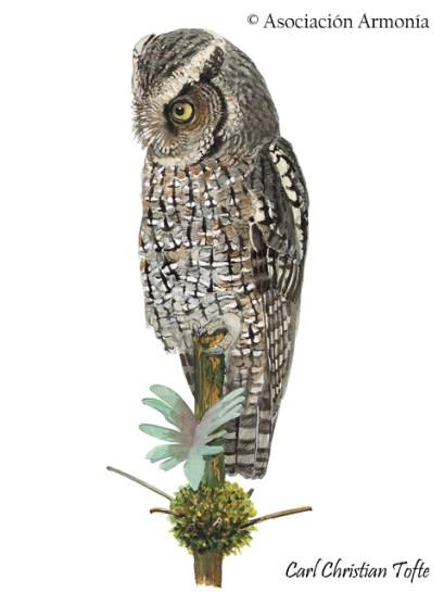 Montane Forest Screech-Owl (Megascops hoyi)