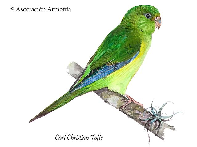 Mountain Parakeet (Psilopsiagon aurifrons)