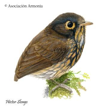 Ochre-breasted Antpitta (Grallaricula flavirostris)