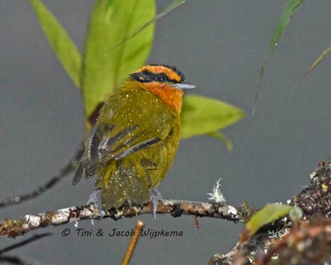 Orange-browed Hemispingus