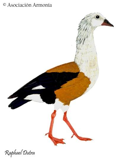 Orinoco Goose (Oressochen jubatus)