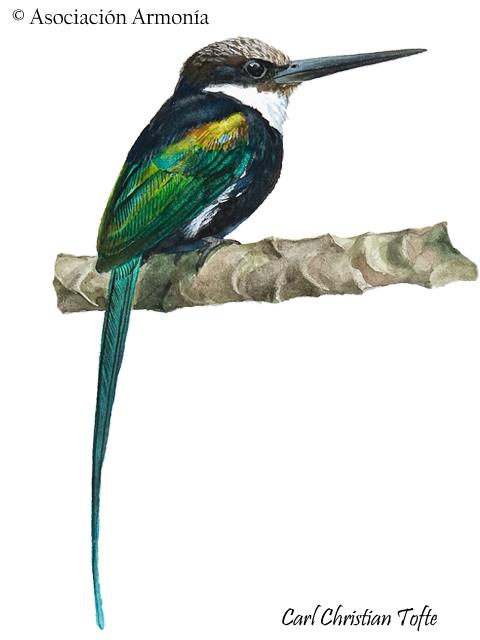 Paradise Jacamar (Galbula dea).