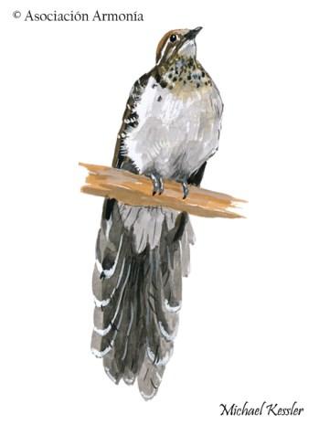 Pheasant Cuckoo (Dromococcyx phasianellus).