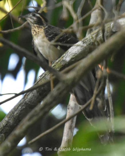 Pheasant Cuckoo (Dromococcyx phasianellus). Copyright T&J Wijpkema.