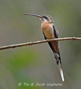 Planalto Hermit (Phaethornis pretrei). Copyright T&J Wijpkema.