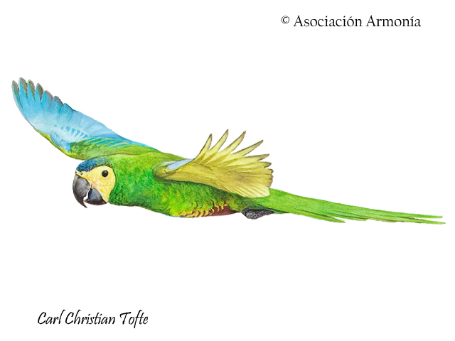 Red-bellied Macaw (Orthopsittaca manilatus)
