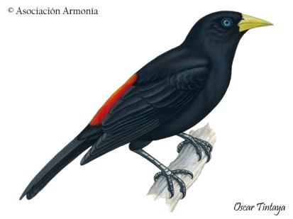 Red-rumped Cacique (Cacicus haemorrhous)
