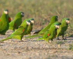 Red-shouldered Macaw (Diopsitta nobilis). Copyright T&J Wijpkema.