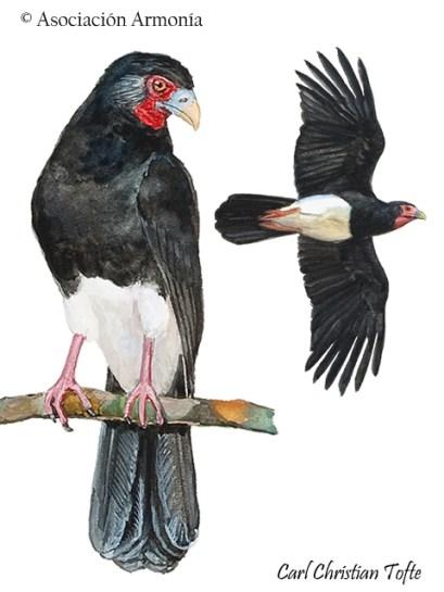 Red-Throated Caracara (Ibycter americanus).