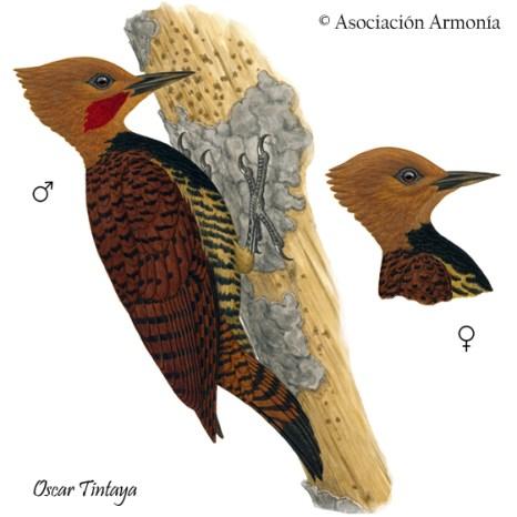 Ringed Woodpecker (Celeus torquatus)