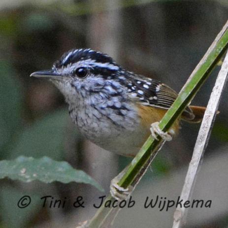 Rondonia Warbling-Antbird (Hypocnemis ochrogyna). Copyright T&J Wijpkema.