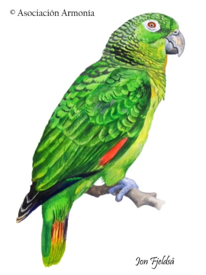 Scaly-naped Parrot (Amazona mercenarius)