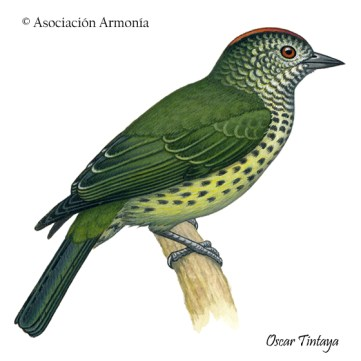 Sharpbill (Oxyruncus cristatus)