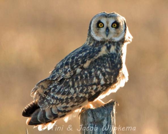 Short-eared Owl (Asio flammeus). Copyright T&J Wijpkema.