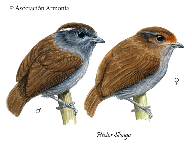 Slaty Gnateater (Conopophaga ardesiaca)