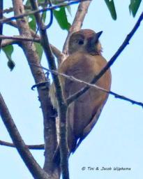 Smoky-brown Woodpecker (Picoides fumigatus). Copyright T&J Wijpkema.