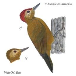 Smoky-brown Woodpecker (Picoides fumigatus).