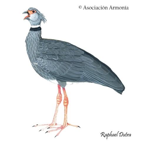 Southern Screamer (Chauna torquata)