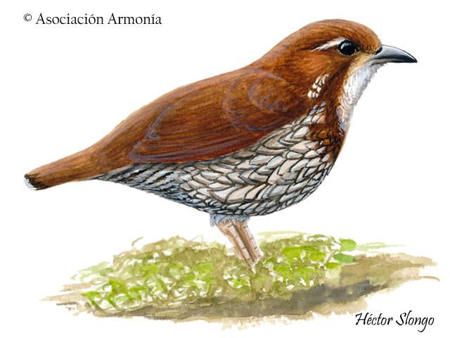 Striated Antthrush (Chamaeza nobilis)