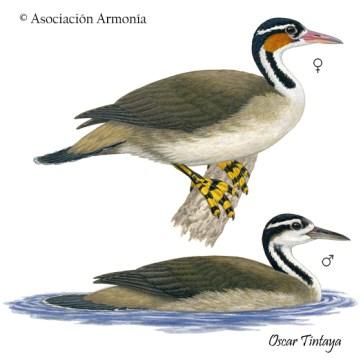 Sungrebe (Heliornis fulica)