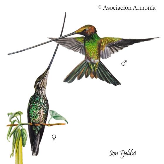 Sword-billed Hummingbird (Ensifera ensifera).