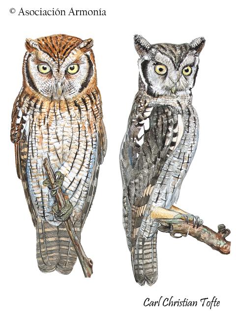 Tropical Screech-Owl (Megascops choliba)